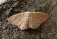 Clay Triple-lines (Cyclophora linearia)