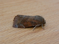 Lesser-spotted Pinion (Cosmia affinis)