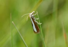Pearl-band Grass Veneer (Catoptria margaritella)