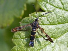 Currant Clearwing Synanthedon tipuliformis