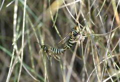 Six-belted Clearwing (Bembecia ichneumoniformis)