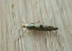 Apple Fruit Moth (Argyresthia conjugella)