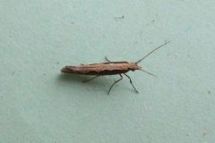Diamond-back Moth (Plutella xylostella)
