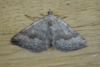 Chalk Carpet (Scotopteryx bipunctaria)