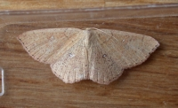 False Mocha (Cyclophora porata)