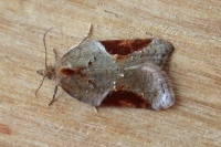 (Acleris laterana)