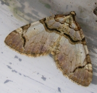 Streamer (Anticlea derivata)