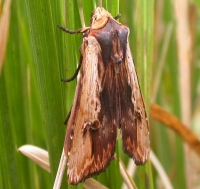 Red Sword-grass (Xylena vetusta)