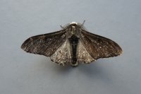 Peppered Moth [melanic form] (Biston betularia f. carbonaria)