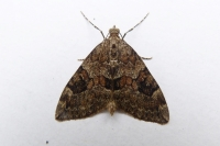Spruce Carpet Thera britannica